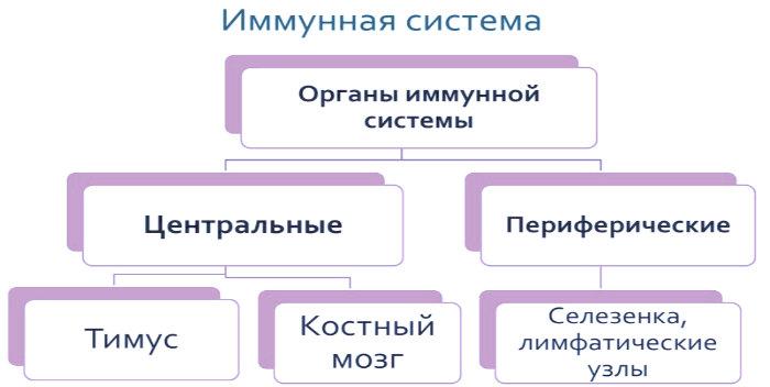 схема органы иммунитета