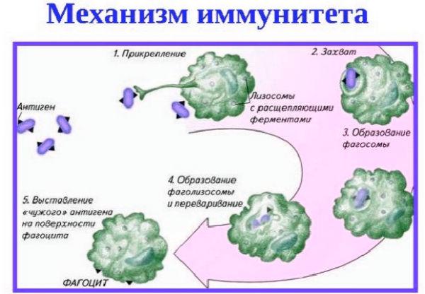 принцип работы иммунитета