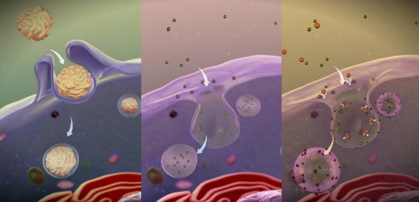 работа иммунных клеток