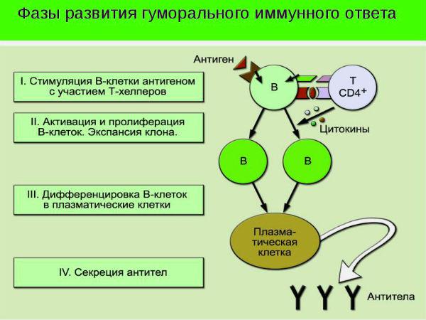иммунокомпетентность схема