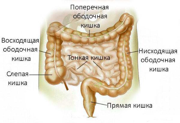 пищевод строение схема