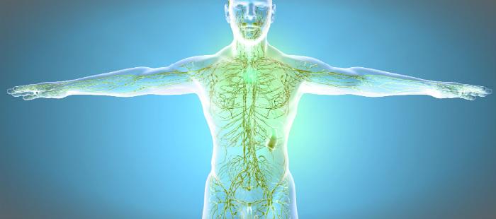 Органы иммунной системы человека