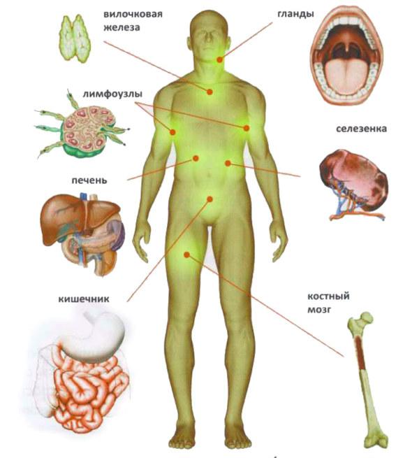 схема органов иммунной системы