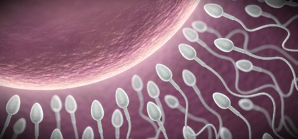 спермии и яйцеклетка